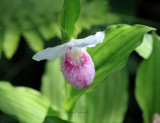 Showy Lady Slipper