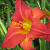 Spilling with Color Daylily