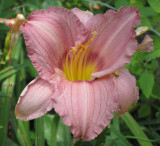 DayLily in Lee's Garden