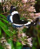 Intergrade betwee White Admiral and Red-spotted Purple