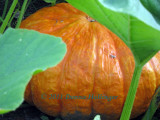 Orange Pumpkin in the Upper Garden