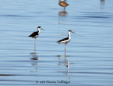 One legged waders - Stilt and Avocet