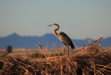 Great Blue Heron at Sunrise
