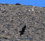 Swooping Golden Eagle