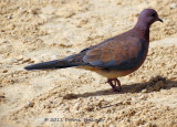 Mauve and Pink  Laughing Dove