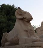Single Ramshead Sphinx