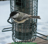 Chicadee Through The Glass Door