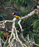 Orange Bellied Euphonia