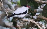 Black -Tailed Tityra (Tityra cayana)