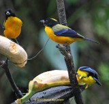 3 Black-Chinned Mountain-Tanagers