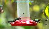 5 Booted Racket-Tails (Ocreatus underwoodii)  Hummingbirds