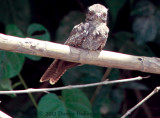 Female Ladder -Tailed Nightjar