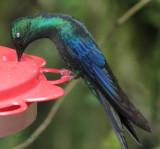 Great Sapphire Wing (Hummingbird)