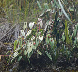 Pleurothallis Orchid