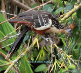 Hoatzin is pronounced Watson!