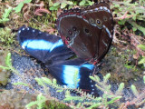 Blue Morpho open with another butterfly