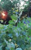 Morrill's Garden 2012