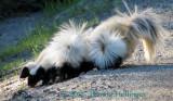 6 Skunk Pups