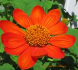 Tithonia Blossom