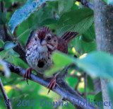 Chip, chip goes the Song Sparrow