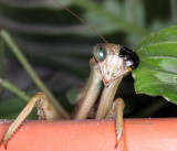 Our Pet Praying Mantis