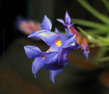 Blue Inflorescence