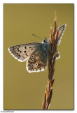 Chalk-hill Blue (Lysandra coridon)