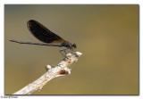 Copper Demoiselle (Calopteryx haemorrhoidalis)