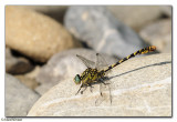 Small Pincertail (Onichogomphus forcipatus)