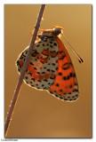 Spotted Fritillary (Melitaea didyma)