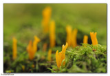 Yellow Stagshorn (Calocera viscosa)