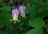 Clematis viorna
