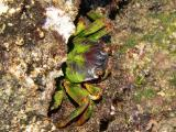 crabe vert.jpg