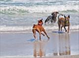beach dogs play