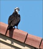 visiting osprey