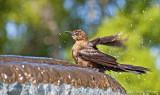 bird bath bird