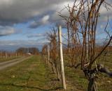 winter vinyard