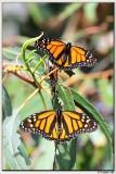 Monarch Grove