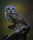 Saw Whet Owl