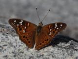 Leilia Hackberry butterfly