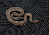 Northern Redbelly Snake