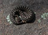 Eastern Masssasauga Rattlesnake