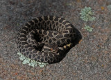 Eastern Masssasauga Rattlesnake (neonate)