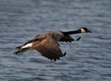 Goose-in-flight