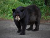 Black-Bear3.jpg