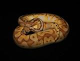 Ball Python (Butter Bumblebee)
