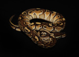 Ball Python (Cinnamon Morph)
