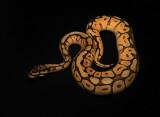 Ball Python (Mohave Spider Morph)