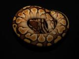 Ball Python (Mojave Spider Morph)