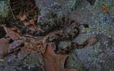 Neonate Timber Rattlesnake